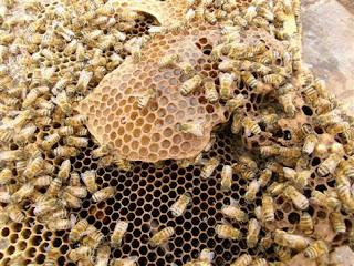 معلومات عن حياة النحل وكيفية تكاثره   Bees-6