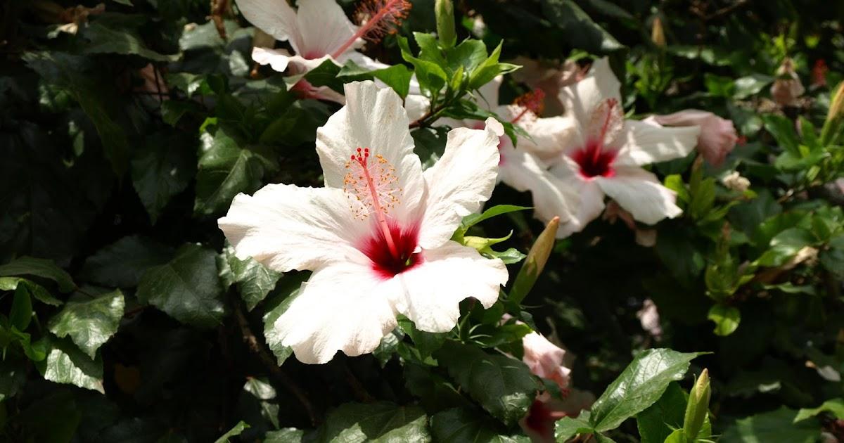 Plantas de hojas perennes hibiscus - Plantas perennes exterior ...