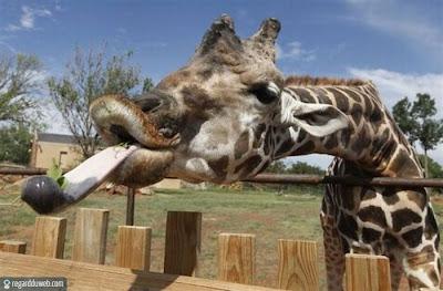 Images drôles et insolites catégorie Animal - Girafe v10