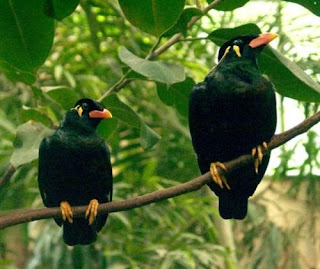 Talking Mynah Bird Pictures