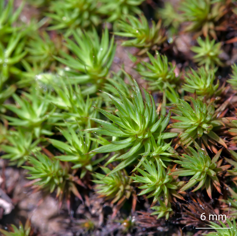 Proyecto Musgo  Polytrichum Juniperinum