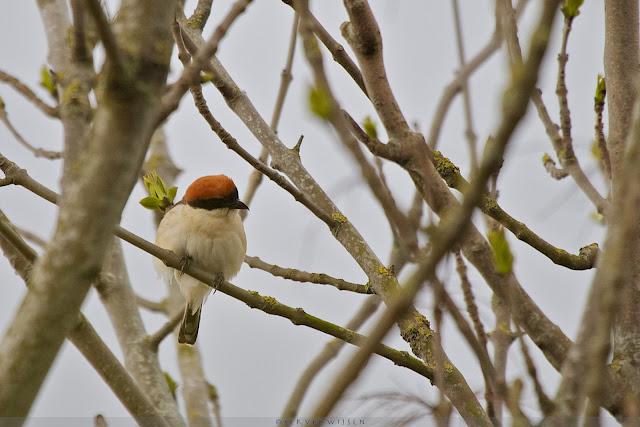 Nogal versuft leek de vogel toen ie weer in de boom zat - Freed but confused it seemed when it had flown back in the tree