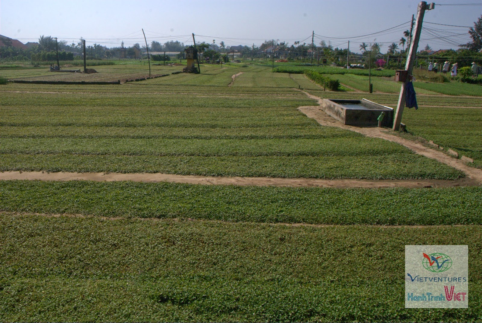 Visiting green Tra Que vegetable village in Hoian