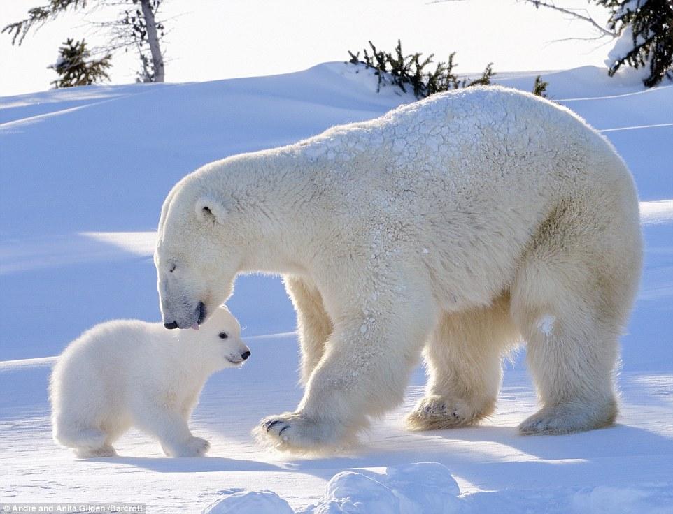 белый медведь ловит