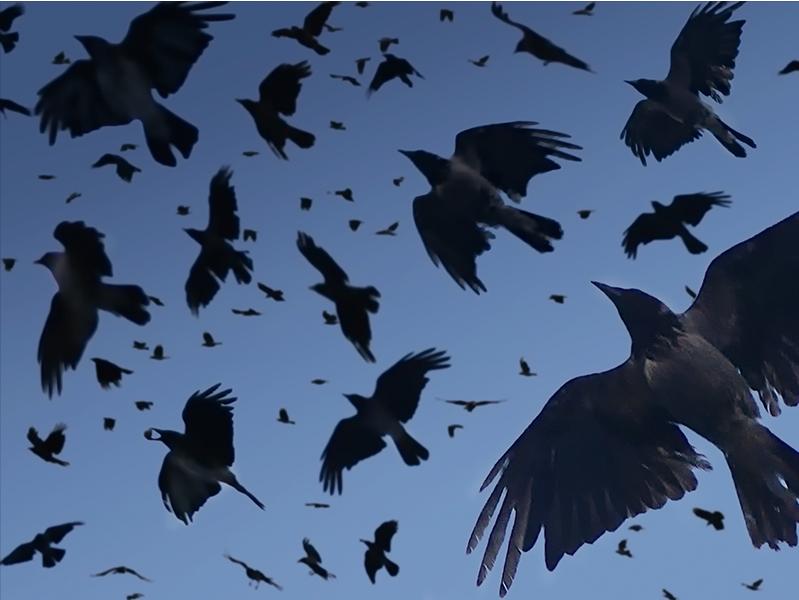 Cuervos para la Rosa de las Tormentas (Rowena) Cuervos
