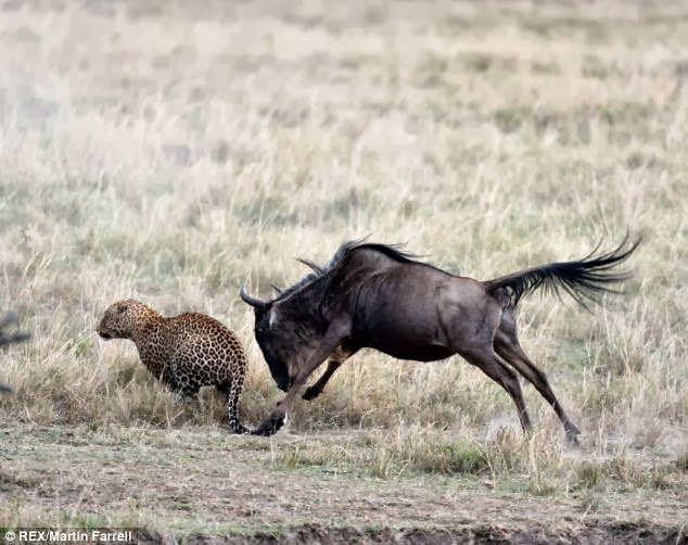 Leopard Vs Lion Who Wins