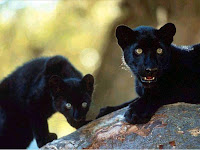 Black Panther Picture and Photo 20