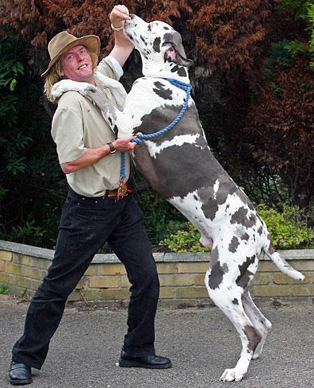 Biggest Great Dane Dog
