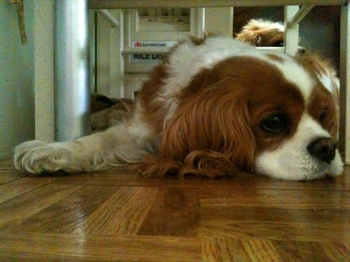 How To Naturally Help Your Dog Through Kennel Cough