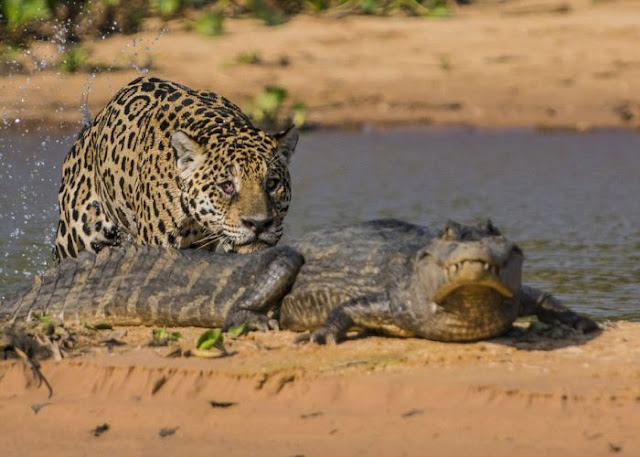 jaguar who turned into jaws 04 Video Dan Gambar Pertarungan Sengit Jaguar Dan Buaya