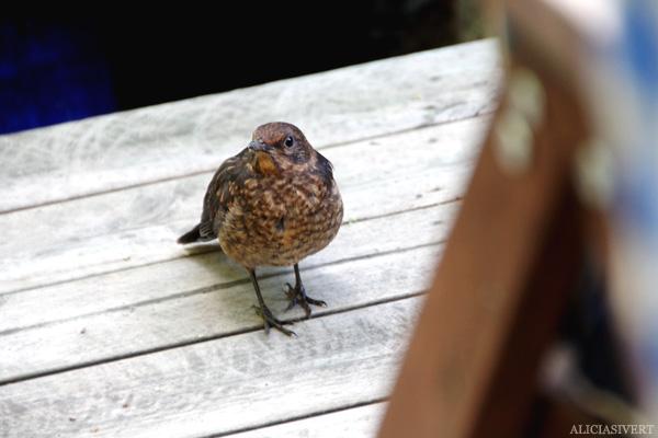 aliciasivert, alicia sivertsson, törnrosdalen, natur, blackbird, koltrast, koltrastunge, fågel, fågelunge, bird, horace