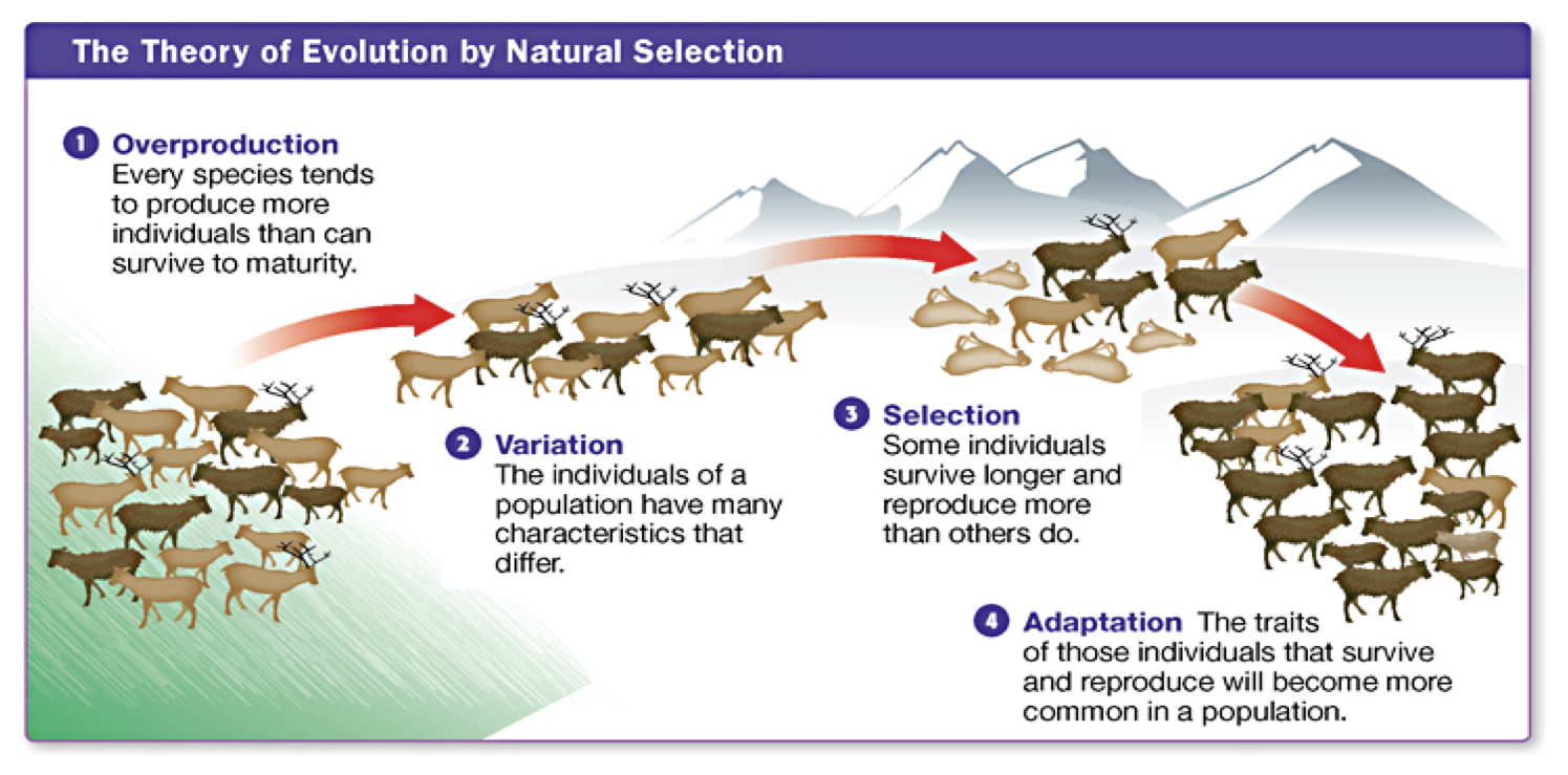 Explain The Process Of Evolution By Natural Selection