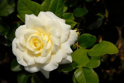 Trandafir alb pentru gradina