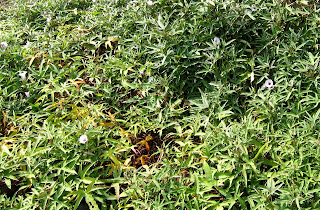 Ipomoea batatas, sweet potato, traditional garden, Hawaii