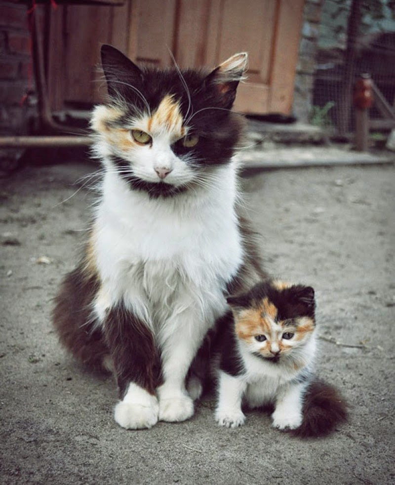 1. A furry calico cat and her adorable matching kitten.  - 30 Animals With Their Adorable Mini-Me Counterparts