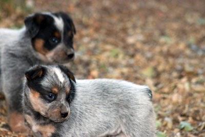 queensland heeler puppies northern california - Quoteko.com