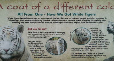 sign about white tigers and inbreeding