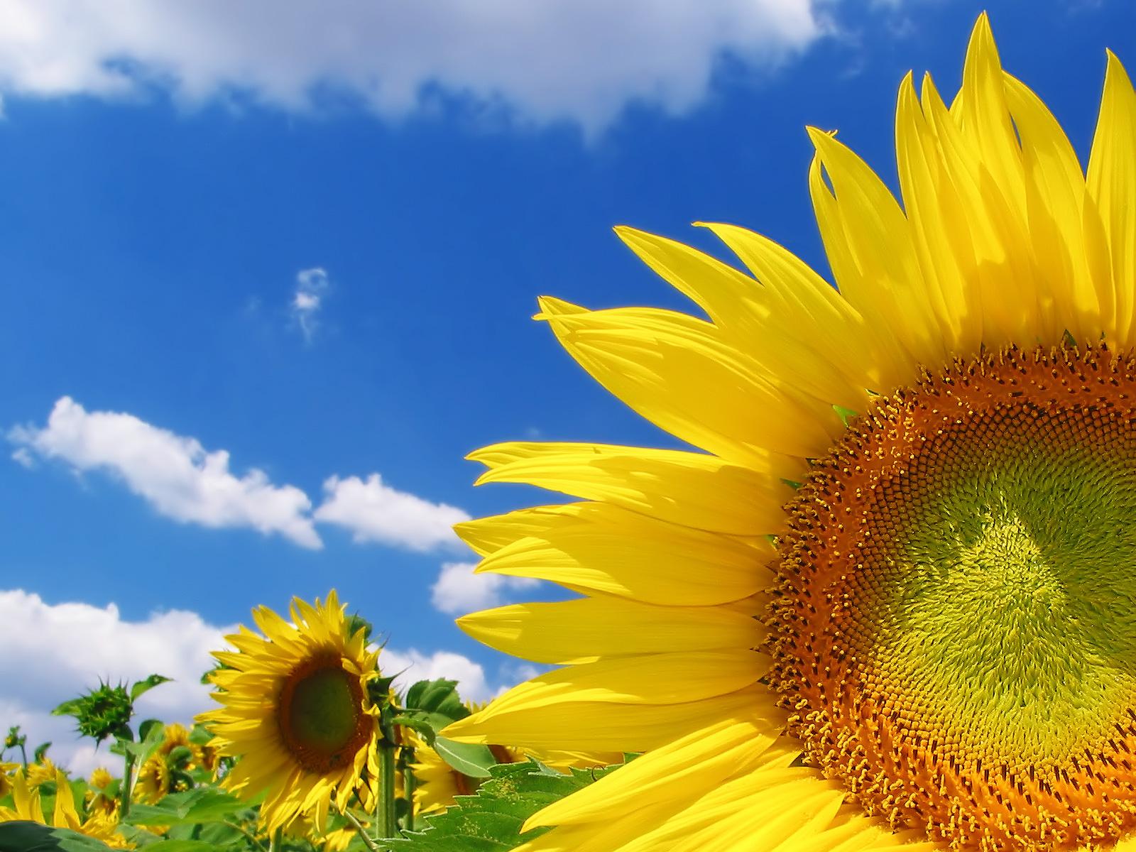 darmowe tapetki słoneczniki lato słoneczny dzień widoki natura