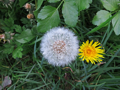 Dandelion Clock with dandelion flower.