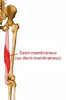 semi-membraneux