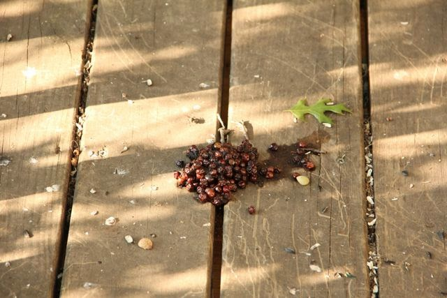 bear berry scat left on deck