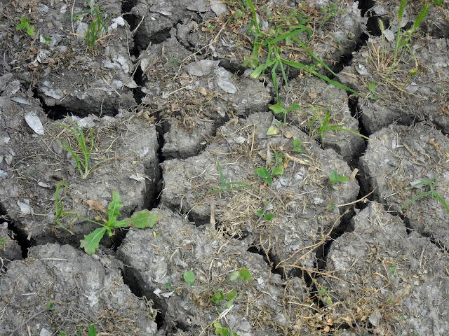 Cracks in the ground around Celebration Tree Grove, White Rock Lake, Dallas, Texas