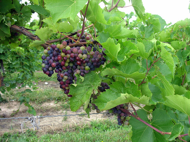 A bunch of grapes at Thirsty Owl Wine Company on Cayuga Lake