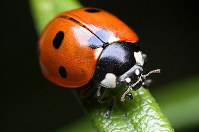 2 Ladybugs %Category Photo