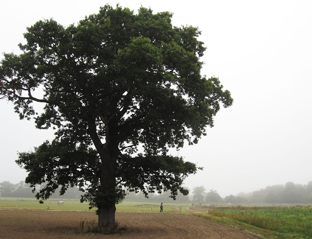 Oak tree in light mist, Hayes Street Farm, 27 September 2011.