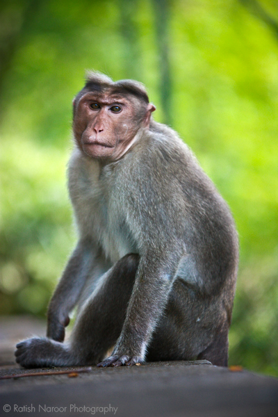 Indian Monkey Images indian monkeys | My HD...