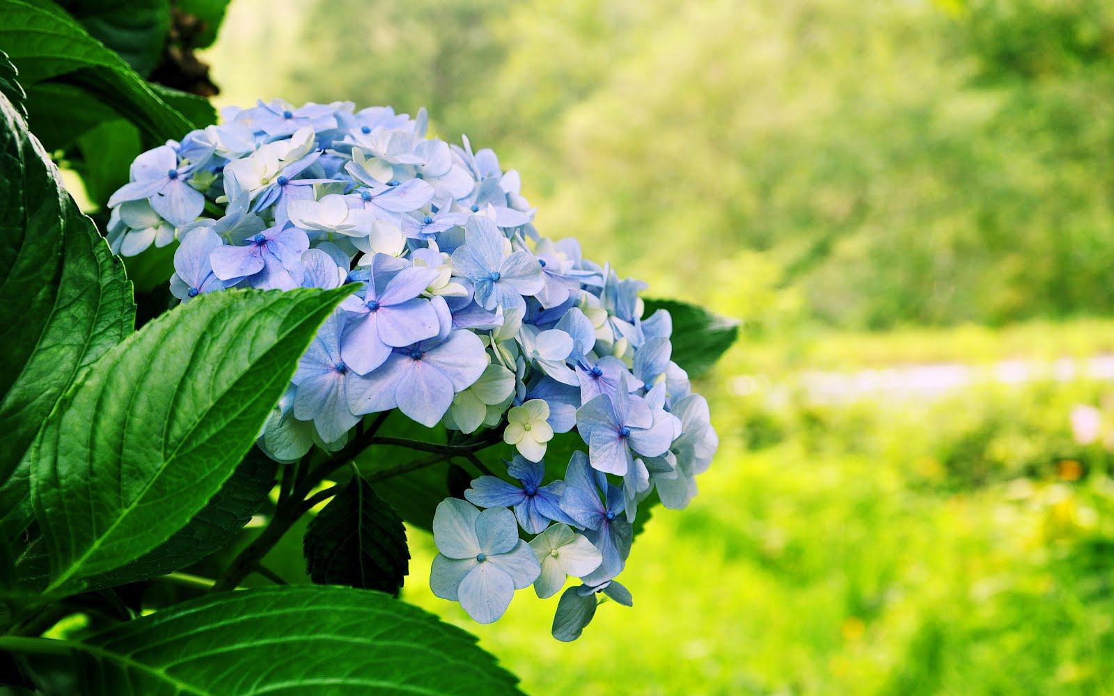 Fotos De Flores De Hortensias - Hortensia Banco de Imagem Fotos 5 955 hortensia