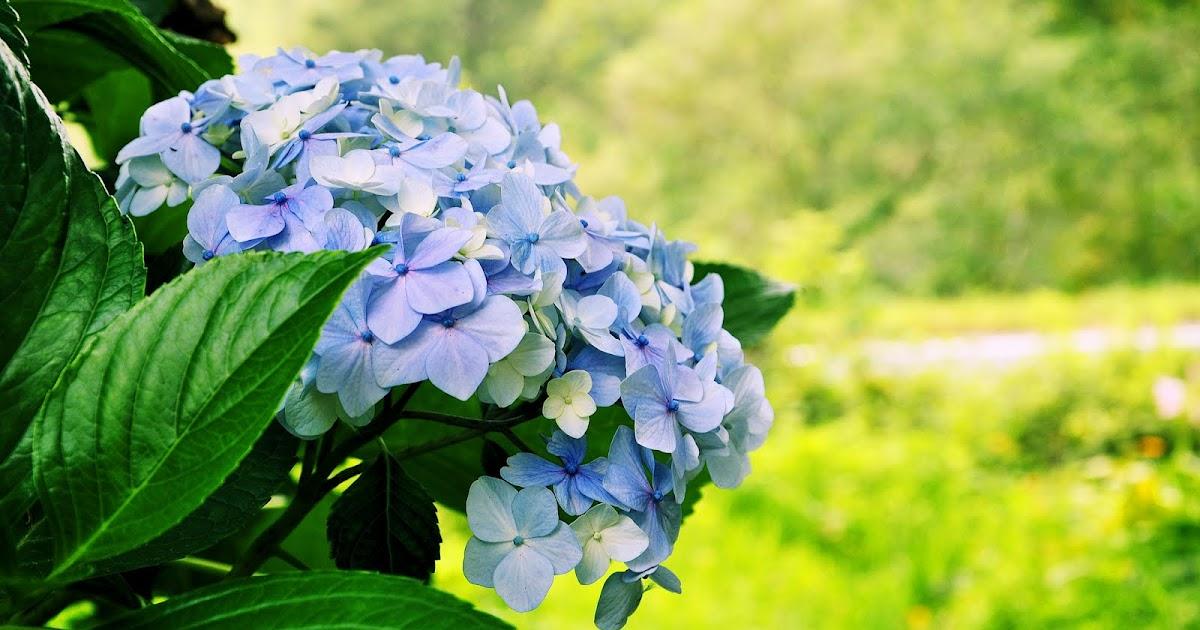 Imagenes de flores hortensias for Plantas exoticas para jardin