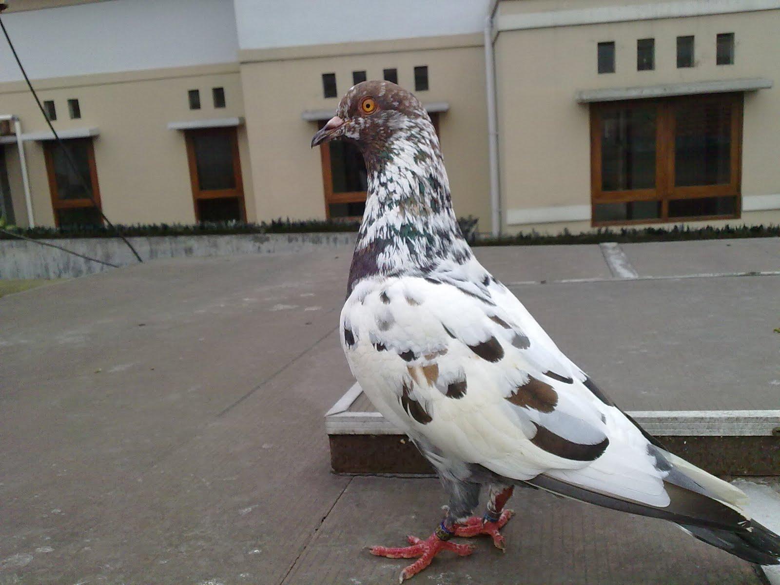 http://4.bp.blogspot.com/-lGiIcRnPgCk/TceHVu_MFXI/AAAAAAAABMg/-ndvDCve-Ko/s1600/Burung-Dara-Merpati-Indukan-2.jpg