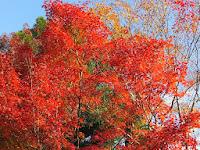 見上げれば真っ赤な紅葉。