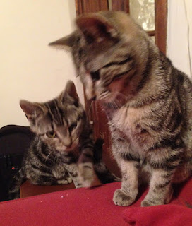 Two young tabby cats