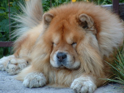 Chow Chow Puppies on The Dog In World  Chow Chow Dogs