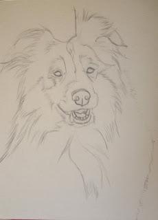 dessin berger shetlands