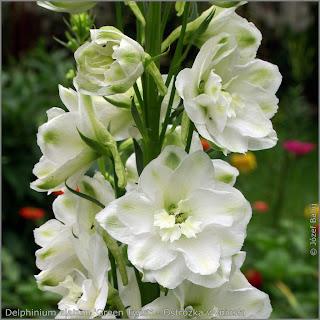 Delphinium elatum 'Green Twist' flowers - Ostróżka wyniosła 'Green Twist'    kwiaty