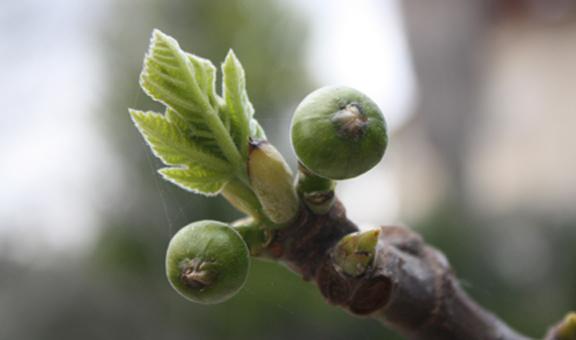 Fig Tree Generation