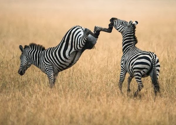 Zebra Kicking Other