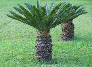 sago palm (Cycas revoluta) is not palm.