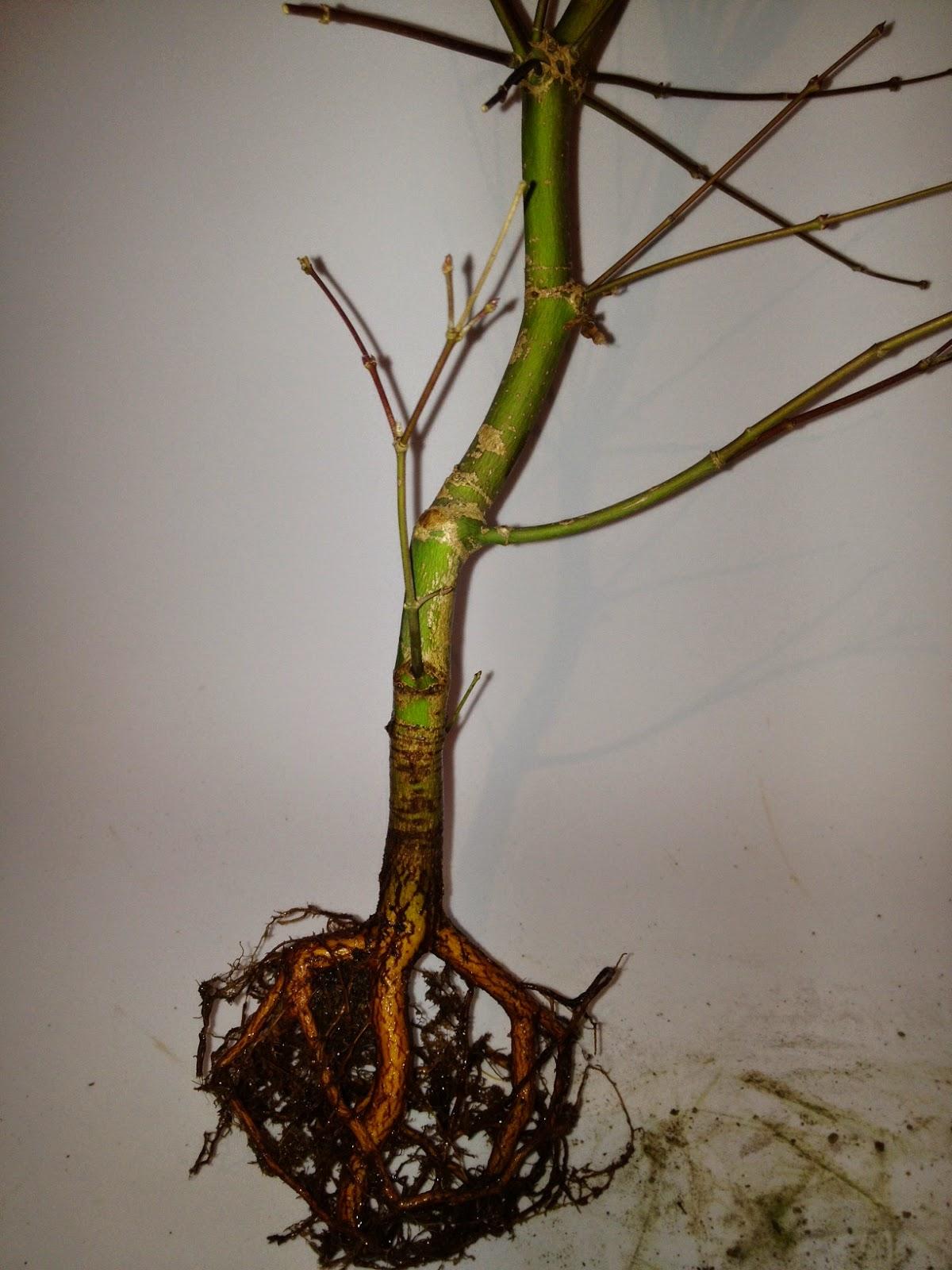 Diario de un bonsai cultivo en colador - Cultivo del bonsai ...