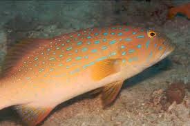 Ikan Kerapu Pisang