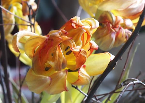 tulpen trocknen