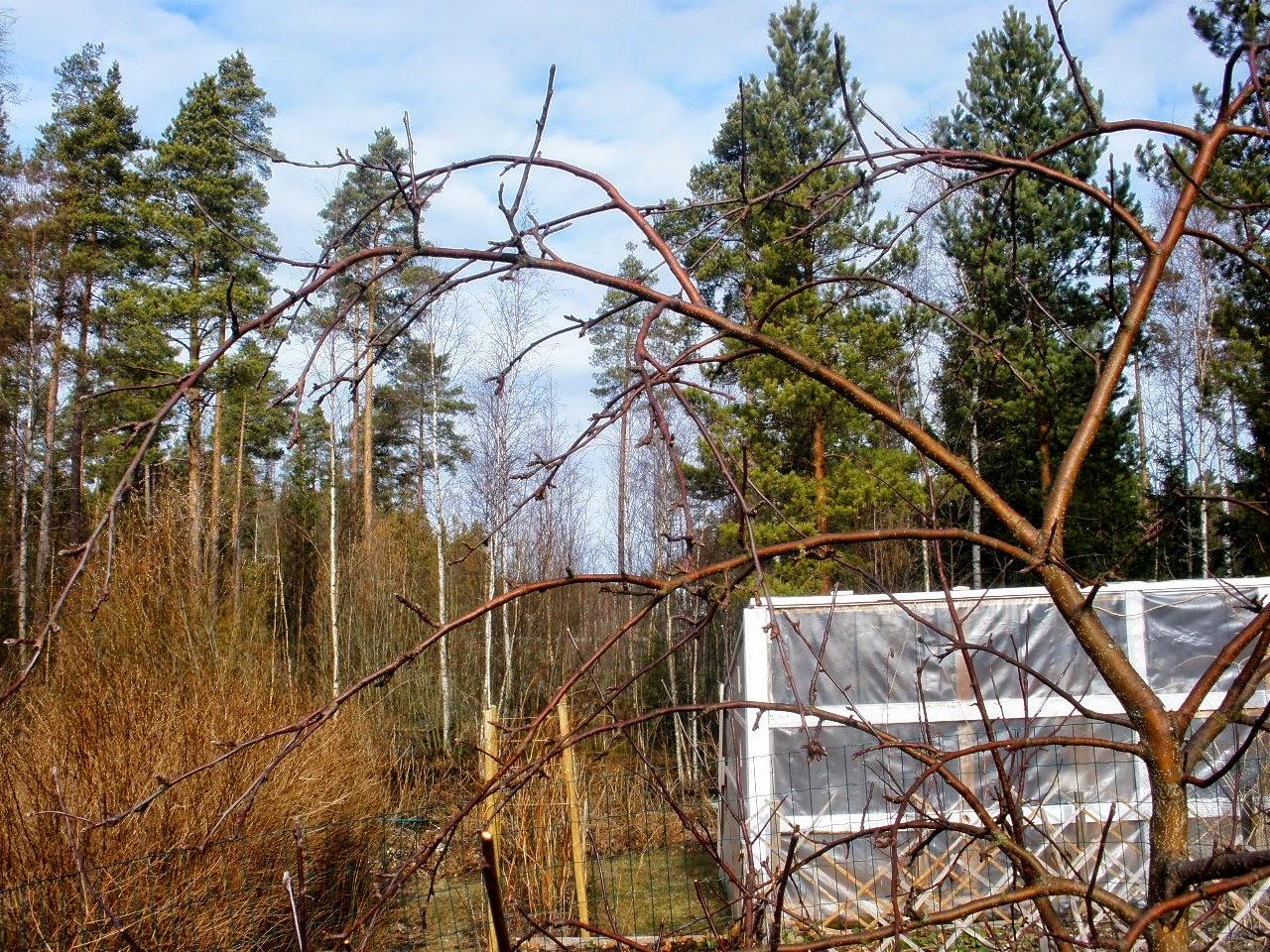 päärynäpuun leikkaus keväällä