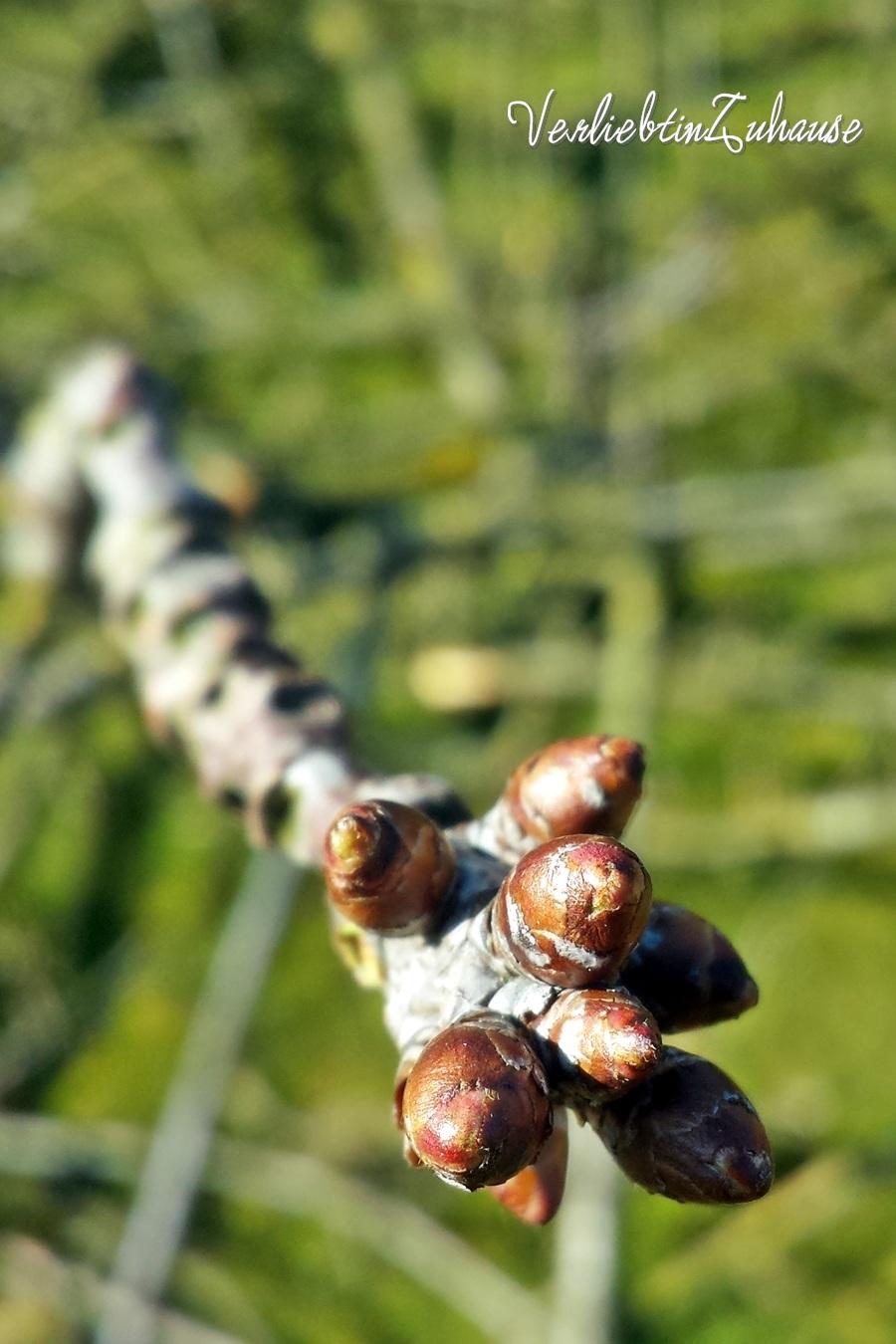 Makro von Blüten Knopsen eines Kirschzweiges