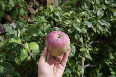 Apple from my espalier apple tree.