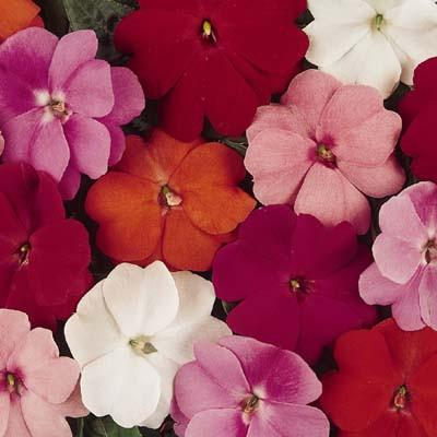 Impatiens - New Guinea Divine Mix
