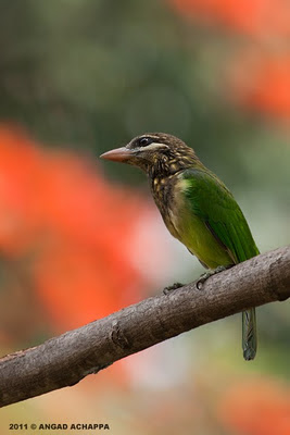 small green barbet or white-cheeked barbet