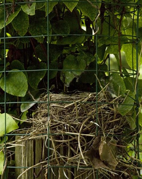 Http Damentions Blogspot Com 2011 07 Robins Nest Near My Window 5 And Last Html